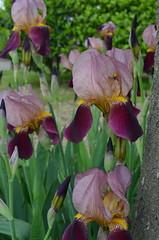 Purple irises (Claudia De Facci) Tags: flowers iris plants flower primavera nature fleur fleurs garden spring jardin natura fiori fiore giardino pianta primtemps purpleirises