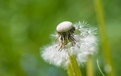 dandelion (01) (Vlado Fereni) Tags: macro closeup dandelion taraxacum closeupmacro tamron9028 nikond90