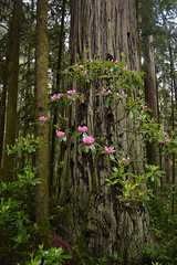 Rhododendron macrophyllum, Jedediah Smith Redwoods State Park (David A's Photos) Tags: california park county flowers trees wild plants green forest state smith rhododendron april redwoods 27 delnorte macrophyllum jedediah 2016 rhododendronmacrophyllum