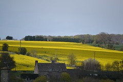 Rapeseed field (jan.ashdown) Tags: street flowers trees england sky house english field yellow landscape town spring village cottage cotswolds oxfordshire burford oilseed oilseedrape