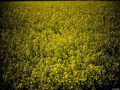 Fotografa acolzada (Luicabe) Tags: naturaleza planta exterior flor paisaje amarillo luis cabello airelibre colza yarat1 enazamorado luicabe
