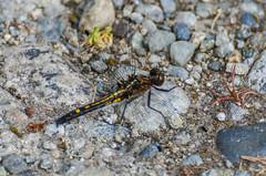 Dot-tailed Whiteface (ajblake05) Tags: canada dragonfly britishcolumbia insects northamerica coquitlam odonata libellulidae lowermainland greatervancouver hexapoda minnekhadaregionalpark leucorrhiniaintacta dottailedwhiteface