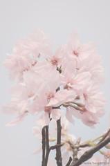 DSC_8500-3 (Frankie Tseng ()) Tags: park pink flowers sunset sky bw flower silhouette photography 50mm blackwhite nikon outdoor flash sunny tokina cherryblossoms fade nikkor 70300mm tamron 90mm f8 1224mm f28 f4 1870mm bwphotography blackwhitephotography portraitphotography outdoorportrait sb900 yongnuo outdoorportraitphotography yn568