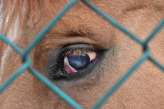 The ocean in eye (norella.giorgia) Tags: ocean blue horse eye look animal blind sguardo cavallo occhio oceano cieco ciecit