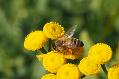 A honey bee collecting pollen and nectar on a common tansy. (Bienenwabe) Tags: nature insect natur bee nectar pollen insekt honeybee asteraceae biene apis tanacetum apiaceae honigbiene apismellifera tanacetumvulgare rainfarn yellowpollen