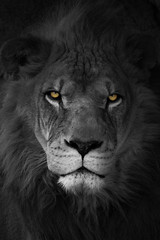 portrait of a lion (Marc McDermott) Tags: white toronto black color colour eye animal cat canon zoo is big eyes african iii lion ii contact usm lindy selective extender t3i 2x ef70200mm f28l