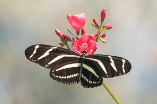 Zebra longwing _ Heliconius charitonia