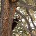 Uma curiosa marta americana