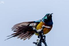 Yellow Bellied Sunbird (Ha-Tschi) Tags: bird southafrica pentax capetown 70300mm tamron tablemountain sunbird ks2 tablemountainnationalpark yellowbelliedsunbird