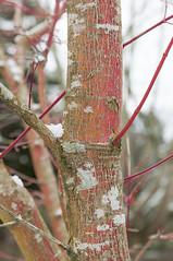 Acer palmatum 'Sango-kaku' - Darts Hill Garden Park (ScarletBlack) Tags: maple acer coralbarkmaple acerpalmatumsangokaku dartshillgarden
