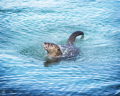 Ocean River Otter (Colin S Peacock) Tags: blue wild cute nature tongue alaska marine adventure juneau nationalforest shake behavior marinemammal riverotter tongass dallsporpoise pointbridget bluemusselcabin