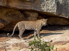 Attentive (jaffles) Tags: holiday nature beautiful southafrica wildlife natur olympus safari leopard np südafrika kruger krüger