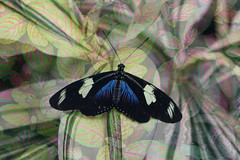 Doris Longwing (Roantrum) Tags: butterfly rhswisley dorislongwing heliconiusdoris mf16 roantrum
