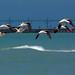 American Avocets, breeding plumage ~ Recurvirostra americana ~ Great Lakes and Watersheds, Michigan