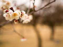 P2063545 (hiroki.yano) Tags: japanese apricot