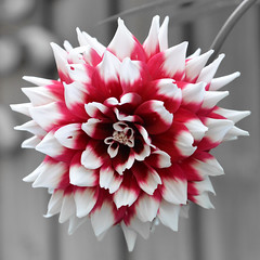 Dahlia - 1 (KiwiMunted) Tags: dahlia white flower flora burgundy nz 2016 kiwimunted