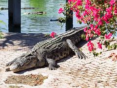 P1092405 (tatsuya.fukata) Tags: elephant thailand crocodile samutprakan crocodilefarm
