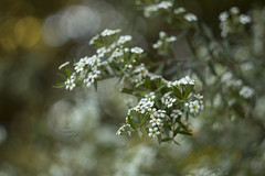 Baeckea virgata (louisa_catlover) Tags: flowers summer white plant art nature floral canon garden botanical eos flora december dof meetup artistic native bokeh outdoor australian australia melbourne victoria depthoffield m42 f2 manual russian botanicgarden 58mm helios australiannativeplant 2015 vintagelens helios442 60d royalbotanicgardensmelbourne melbournewalkandshootgroup