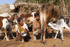 Baiga farm (wietsej) Tags: india farm sony hills 1750 tamron milking a100 milkmen chhattisgarh baiga maikal