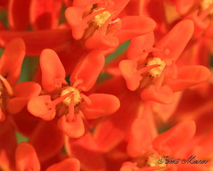 Butterfly Weed Macro (Bob the Birdman and All Around Nature Guy) Tags: plant flower color nature butterflyweed milkweedfamily naturetreasures ascleplastuberosa robertmiesner bobthebirdman