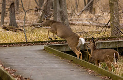 Maumee-Bay-State-Park-4a (Becker1999) Tags: statepark ohio wild nature crossing deer trail boardwalk leaping 2016 maumeebay maumeebaystatepark