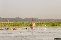 SONBIL LARGEST WETLAND IN NORTHEAST (18) (GK's Imaginary-GK Dutta Photography) Tags: agriculture assam northeastindia wetlandofassam sonbil