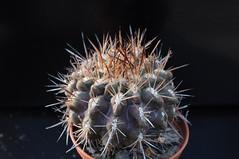 Neoporteria neohankeana (Orkel2012) Tags: cactus succulent neoporteria nikon 40 mm