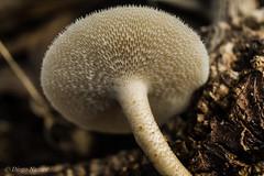 Little mushroom detail (DiogoNazare) Tags: color detail nature closeup canon photography peace macrophoto macrophotography naturelover natureart beautifulnature extensiontubes macrolove macrodreams canoneos1100d