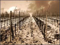 Aus sonnig  mach dster (almresi1) Tags: schnee winter snow sepia vineyard weinberg remstal weinstadt