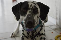 Jake (Patricia Regis) Tags: dog pet jake dalmatian dlmata