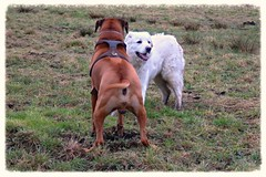IMG_4832 (genzpetra) Tags: weiss rhodesianridgeback toben htehund