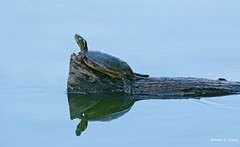 Reflection of Thoughts (   (Thank you, my friends, Adam!) Tags: reflection art lens photography nikon gallery photographer florida wildlife fine central telephoto thoughts excellent dslr