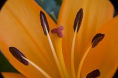lys (pertinal) Tags: macro fleur jaune pistil bouquet pollen lys etamine