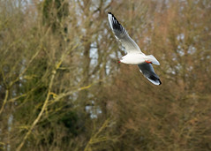 20160116-11_Coombe Abbey_Gull_In Flight (gary.hadden) Tags: birds flying inflight gulls coombeabbey coombecountrypark coombepark