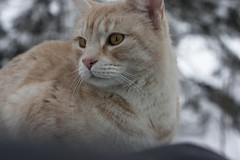 IMG_6839 (Siw Linda) Tags: trees winter orange snow cute animal forest cat eyes beige woods pretty january adorable whiskers mainecoon
