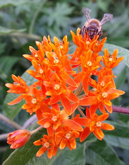 honeybee on butterfly weed (crystalcolby) Tags: bee butterflyweed bugsetc