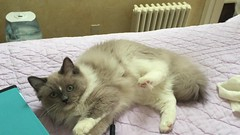 "Video - ""Penelope"" Blue Mink Mitted ragdoll girl with a star blaze (AngelGirl Ragdolls) Tags: blue pet beautiful cat kitten penelope kitty indoor gatos mink ragdolls ragdoll mitted"