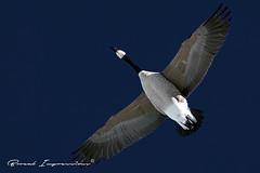 Canada Goose in Flight (Transcendent Clicks) Tags: park winter calgary bird geese downtown birding goose princesisland canadagoose brantacanadensis bowriver anatidae anseriformes