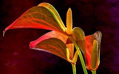 Flamingoblumen (novofotoo) Tags: bayern deutschland natur pflanzen blumen blte fensterbank flamingoblume waldkraiburg zierpflanze bildarchivkategorien