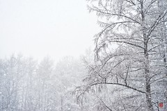 Snowy Trees (Leigh MacArthur) Tags: trees winter snow tree forest landscape snowflakes branch afternoon snowy branches south snowstorm flake late snowing february flakes southkorea pocheon gyeonggido 2016 gyeonggi