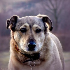 Egy kedves eb - 2016 (Van'elise) Tags: kutya eb portr fot kutyaportr