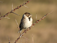 Reed Bunting (Peanut1371) Tags: brown white bird bunting reedbunting nationalgeographicwildlife