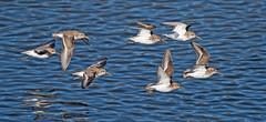 _DSC5528....DUNLIN (grampajeff1) Tags: flock flight dunlin