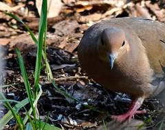 Back Off, Human (Gabriel FW Koch) Tags: boss male bird nature canon outside eos dof bokeh outdoor pigeon dove wildlife beak telephoto mourningdove bossy