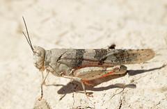 Trimerotropis latifasciata - Kiowa County, CO - July 2015 (SteveMlodinow) Tags: red
