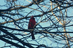 Fort Bellefontaine & Powder Valley 062a (nancynackley@rocketmail.com) Tags: cardinal