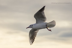 Seagulls from the river Sava (pexart foto) Tags: sunset nature landscape sava galebovi labudovi pejzaz prtice