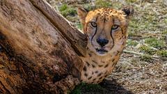 Peek a Boo Cheetah (Robert Streithorst) Tags: cat feline cheetah cincinnatizoo simplysuperb zoosofnorthamerica robertstreithorst