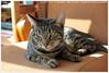 * (Dit is Suzanne) Tags: img2669 08092014 misha миша kotmisha snorremans котмиша ©ditissuzanne canoneos40d sigma18250mm13563hsm kat kater cat кот cypersekat tabby mackerel views100