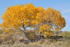 Golden fall tree en route to Hatch, NM 4288x2848 (Charlotte Clarke Geier) Tags: wallpapers screensavers